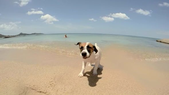 Thumbnail for Jack Russel Puppy Dog Shaking Off Water After