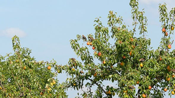 Flock Of Birds Eating Pear