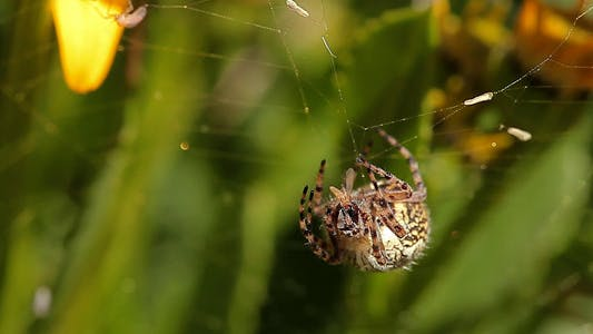 Thumbnail for Spider Eating A Fly