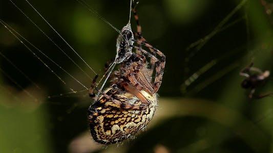 Thumbnail for Spider Eating Ant