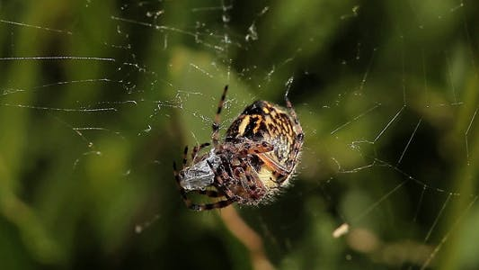 Thumbnail for Spider Feeding