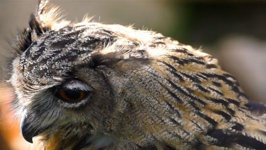 Thumbnail for Eagle-Owl