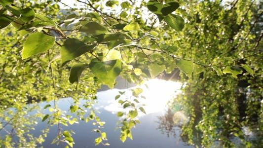Thumbnail for Birch Tree Leaves And Sunny Lake