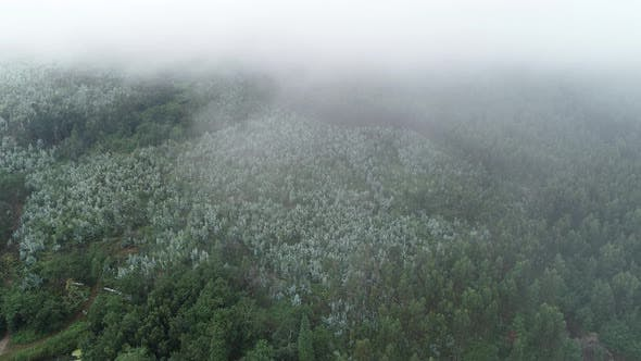 Thumbnail for Mountain Pine Forest And Fog