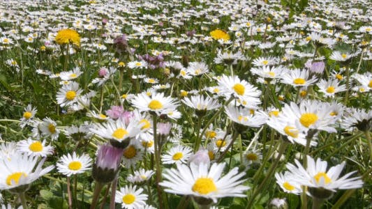 Cover Image for Daisy Meadow