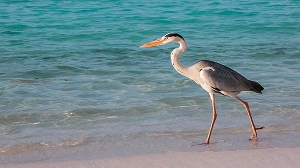 Thumbnail for Grey Heron On The Beach