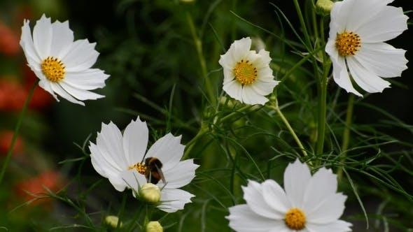 Thumbnail for White Cosmos Flowers In Garden