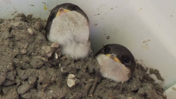 Thumbnail for Swallow Chicks In The Nest. Swallow Feeding Chicks