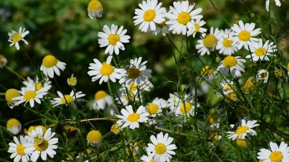 Thumbnail for Blossoming Field Daisy On  Meadow In Summer Day