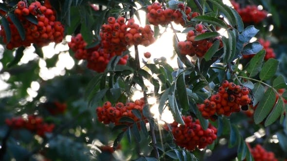 Cover Image for Rowan Berries In Summer Sunset