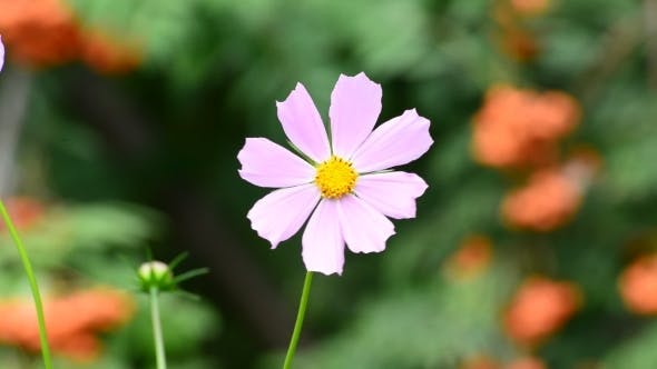 Thumbnail for Cosmos Flowers In Garden