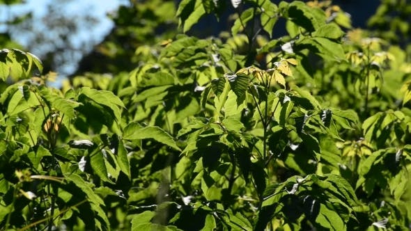 Thumbnail for Young Maplebox Elder On  Sunny Day