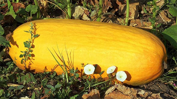 Thumbnail for Large Yellow Zucchini