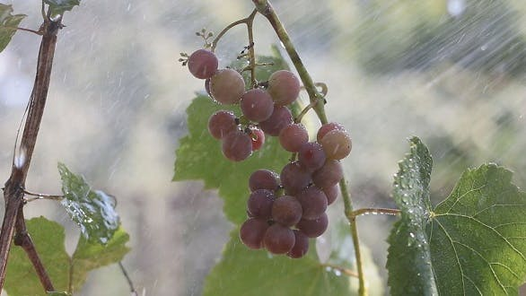 Thumbnail for A Bunch of Grapes in The Rain 4
