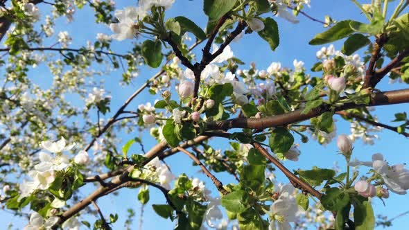 Thumbnail for Blooming Apple Tree in Spring