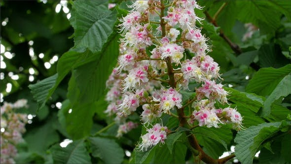 Thumbnail for The Flower of a Horse Chestnut or Aesculus Hippoca