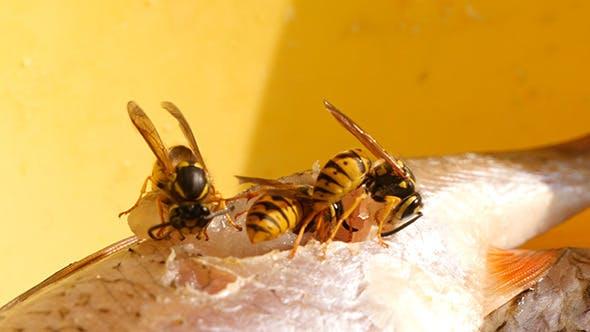 Thumbnail for Wasp Eats Fish Meat