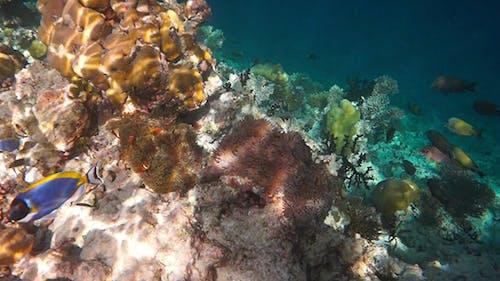 Anemonefish Underwater