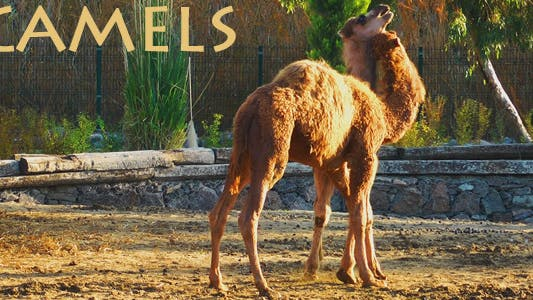Thumbnail for Camels