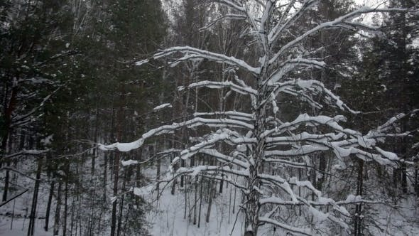 Thumbnail for Aerial View Of Winter Forest