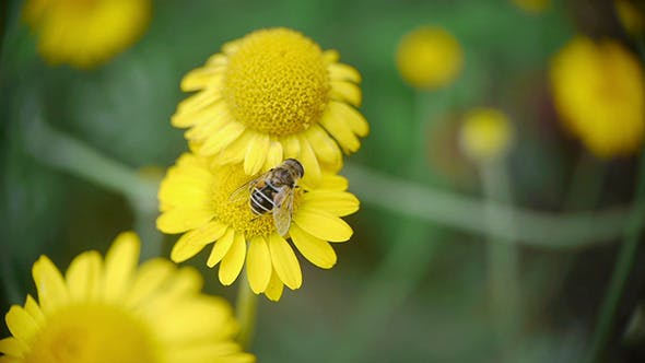 Thumbnail for Bee Sitting On Yellow Daisy 3