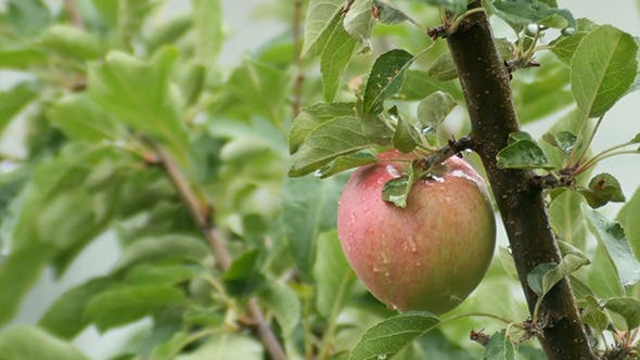 Thumbnail for Apple Hanging On A Tree Branch