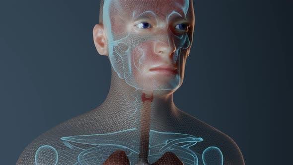 Thyroid Function in Male Human Body