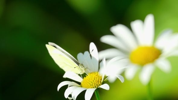 Thumbnail for Butterfly On a Flower Daisies