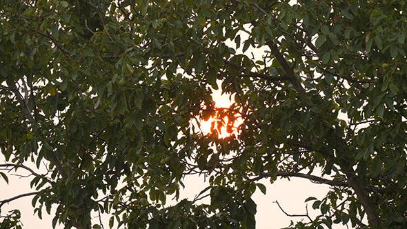 Thumbnail for Sunset With Tree Branch At The Evening Time