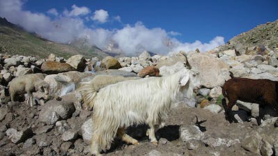 Sheep And Goats. Mountain Goats