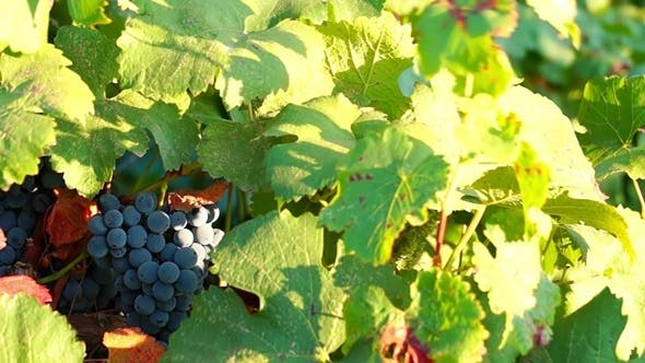 Thumbnail for Bunches of Red Grapes Hanging in Vineyard