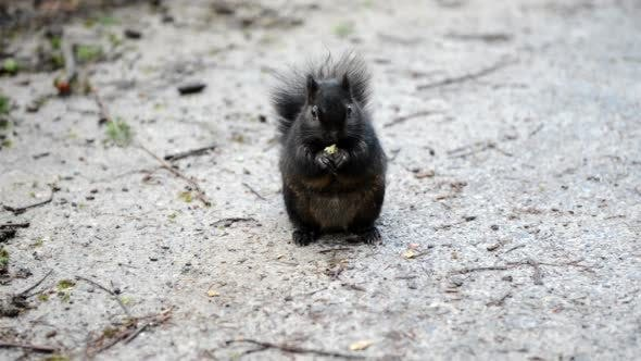 Thumbnail for Black Squirrel Feeding on the Road