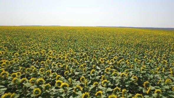 Thumbnail for Sunflower Field 1