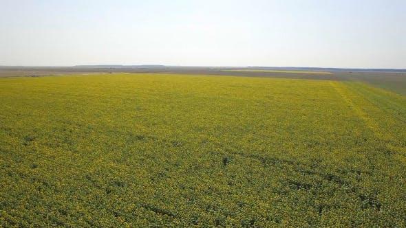 Thumbnail for Sunflower Field 2