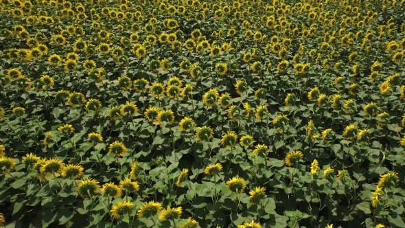 Thumbnail for Sunflower Field 3