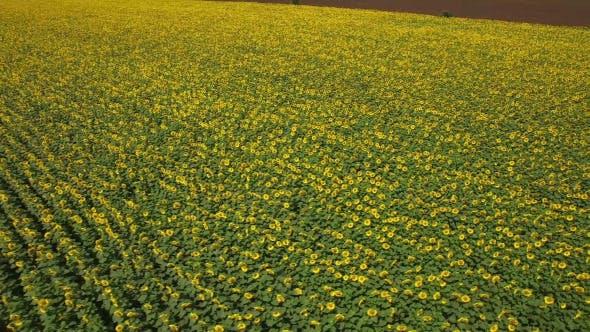 Thumbnail for Sunflower Field 5