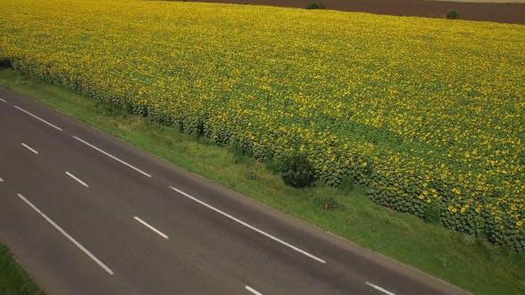 Thumbnail for Sunflower Field 6