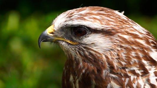 Thumbnail for Hawk