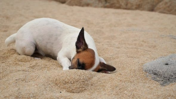 Thumbnail for Jack Russel Puppy Dog Playing On Beach
