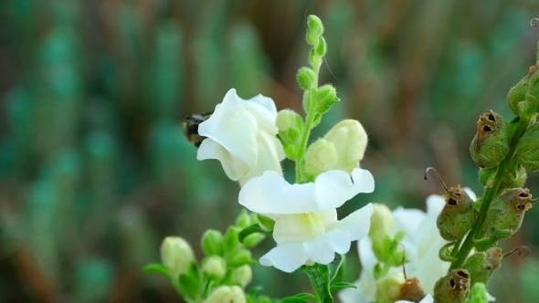 Cover Image for Bumblebee On a Flower Snapdragon