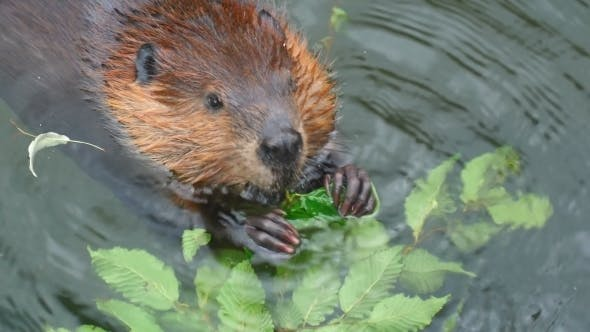 Cover Image for Beaver