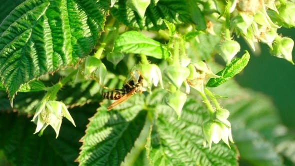 Thumbnail for Wasp On a Flower Raspberry
