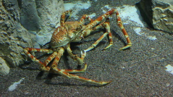 Thumbnail for Large  Crab Underwater