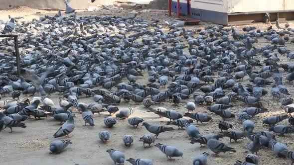 Thumbnail for Many Pigeons In Jaipur India