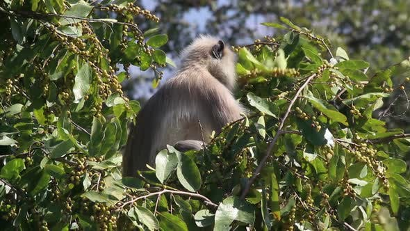 Presbytis Monkey Eating Fruits On Tree