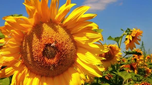 Pollinisation des abeilles sur tournesol 5