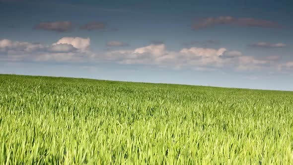 Thumbnail for Green Field  Wheat Under Blue Sky 3