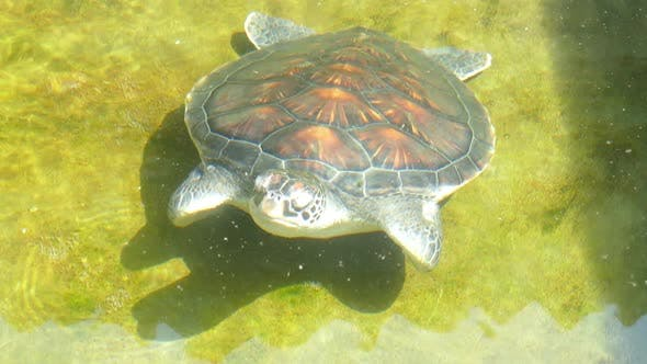 Thumbnail for Sea Turtle In Basin - Sri Lanka