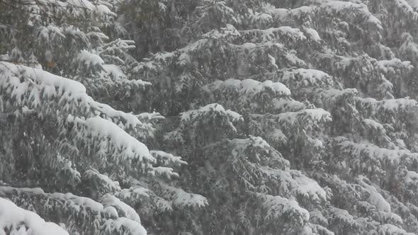 Snow-Covered Firs And Snow