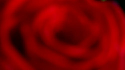 View On Red Rose Changing Focus, Shallow Dof 3